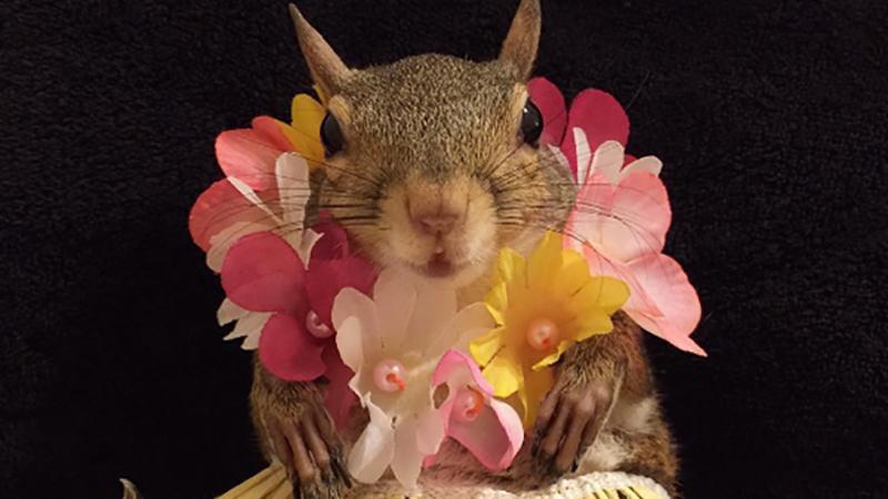 「鼠來寶」裡的松鼠活潑又可愛,看了總是讓人心情歡樂不已阿~這個人的家裡就有一隻童話松鼠啦!
