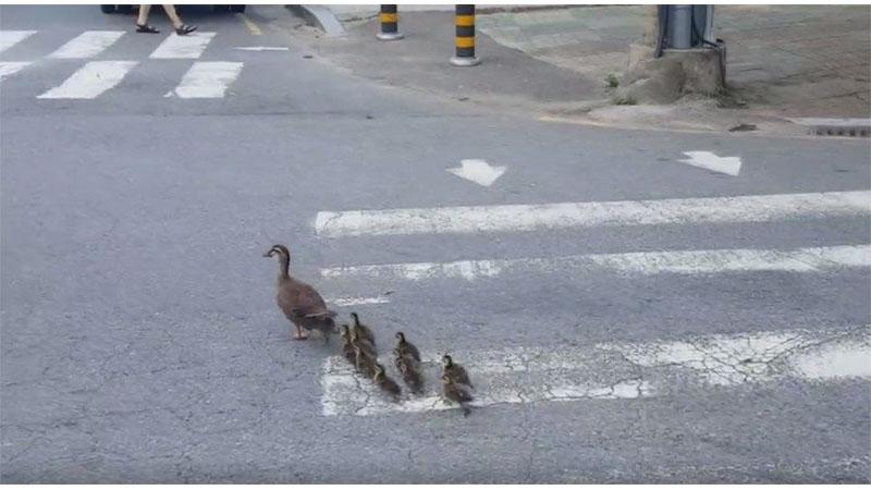 母鴨帶小鴨搬家 突然一個加速...過馬路啦!