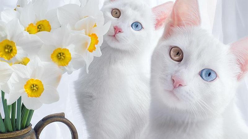 「陰陽眼Twins喵」!被注視到~雙眼無法移開視線