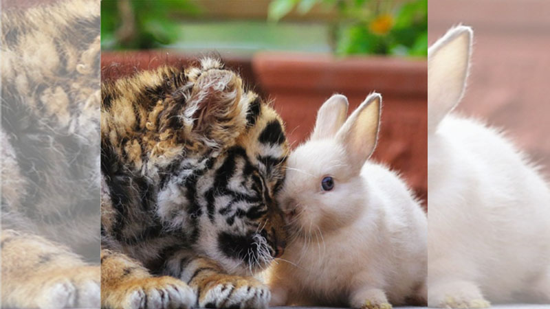 幼獅小虎與兔兔親密接觸:要多長肉肉我才吃得飽喔(欸