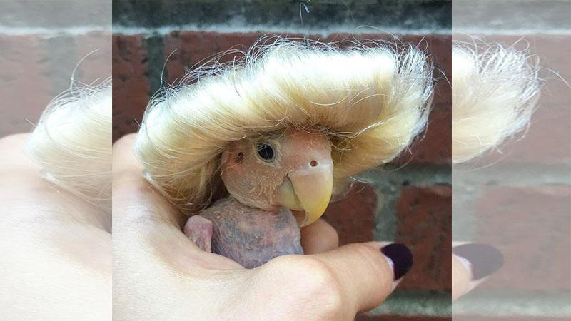 罹罕病的「無毛鸚鵡」另類萌!大家都想送毛衣給牠穿❤