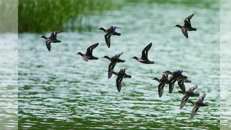 為何鳥在空中不會互撞?專家:牠們有套「交通鳥規則」