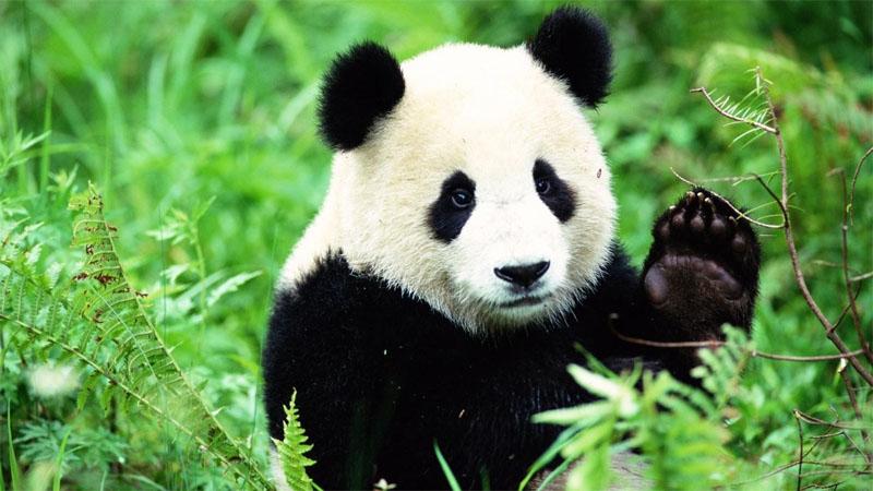 貓熊發個呆就讓同伴摔下樹,這傻物種怎有辦法活到現在
