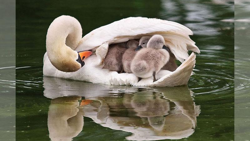 「大鳥帶小鳥」神奇萌照,原來媽媽可以長出很多腳!