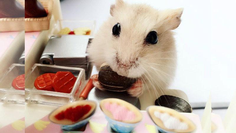 打掃煮飯洗衣服樣樣自己來,超萌小倉鼠的生活日記!