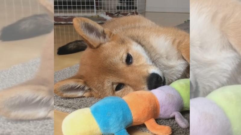 「苦情柴犬」愁眉苦臉是天生的!同伴好無辜:我沒欺負牠啊