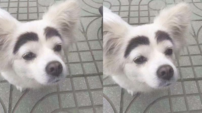 小白狗自帶天然「粗黑眉」 網友笑稱:這才是網紅臉啊!