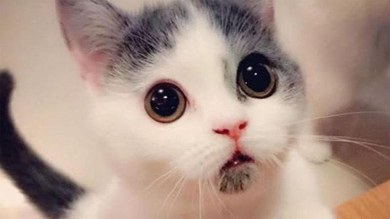 ♪「我家的喵每天都睜大眼睛地看著我...然後我就被萌死惹」永遠都是驚訝臉的喵星人,看到就想立馬把他抱緊處理!!!